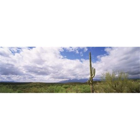 Panoramic Images PPI124557L Cactus in a desert  Saguaro National Monument  Tucson  Arizona  USA Poster Print by Panoramic Images - 36 x 12
