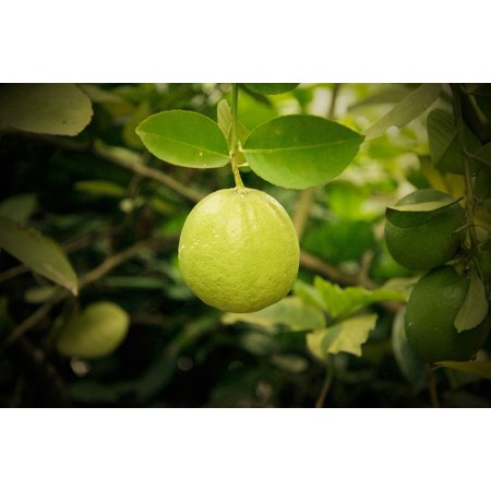 LAMINATED POSTER Lemon Tree Lemonade Nature Food Poster Print 24 x 36](Lemonade Stand Poster)