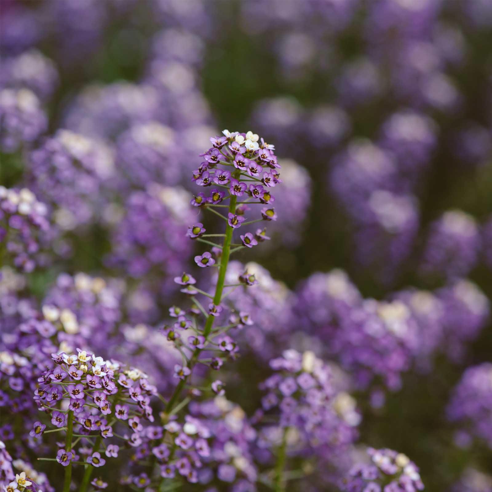 Alyssum Wonderland Series Flower Garden Seeds: Blue - Approx 5000 Seeds - Annual - Lobularia maritima