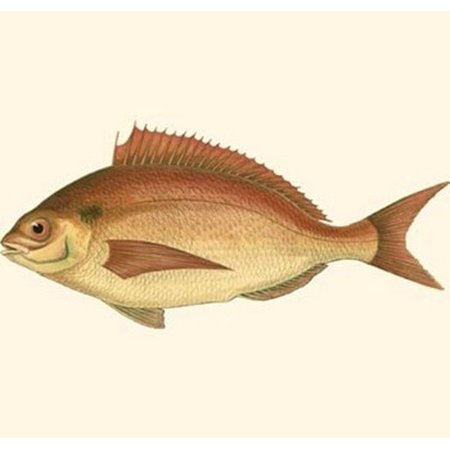 Small Antique Fish III Poster Print by Vision studio (10 x (Antique Fish)
