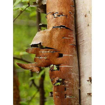 LAMINATED POSTER Nature Bark Garden Scaly Forest Tree Birch Poster Print 11 x 17
