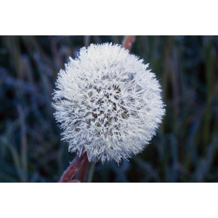 Frost On Mature Dandelion Blossom Canvas Art - Natural Selection Craig Tuttle  Design Pics (18 x 12)