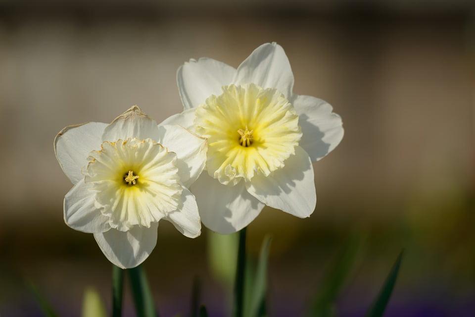Framed Art For Your Wall Daffodil Flower Daffodils Spring Flowers