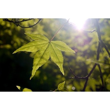 Canvas Print Green Leaf Summer Spring Tree Sun Light Maple Stretched Canvas 10 x 14