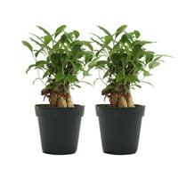 2-Pack Delray Plants Live Bonsai Tree