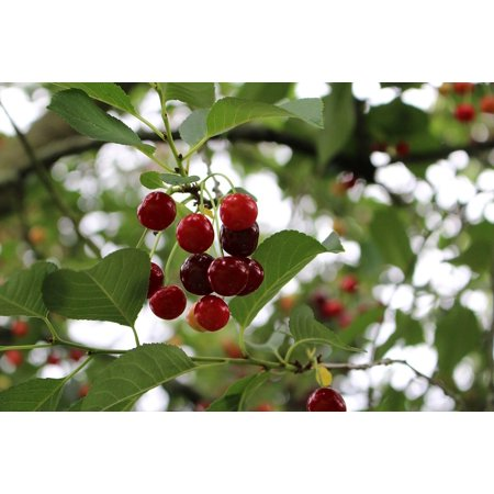 - LAMINATED POSTER Ripe Summer Cherry Fruit Tree Sour Cherry Sour Poster Print 24 x 36