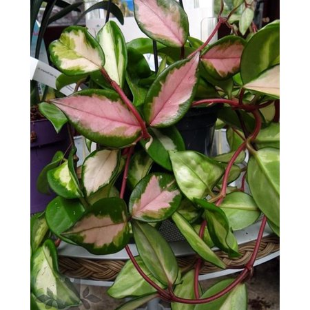 Tricolor Wax Plant - Hoya Tricolor - Great House Plant/Exotic Flower - 2