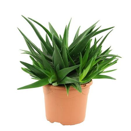 Pentagon Haworthia    Easy To Grow Hard To Kill Succulent House Plant   4 5  Pot