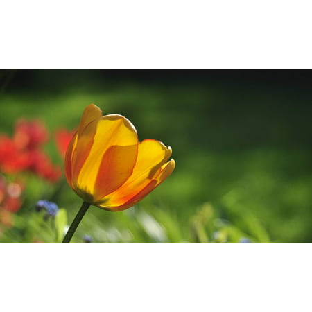 LAMINATED POSTER Tulip Green Spring Early Bloomer Red Yellow Poster Print 24 x 36