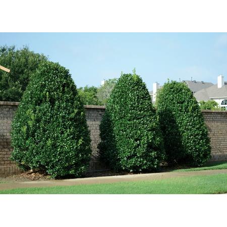 Ilex Nellie R Stevens Evergreen Holly Shrub/Tree 3 inch pot ~Lot of (Ilex Nellie R Stevens Evergreen Holly Shrub)