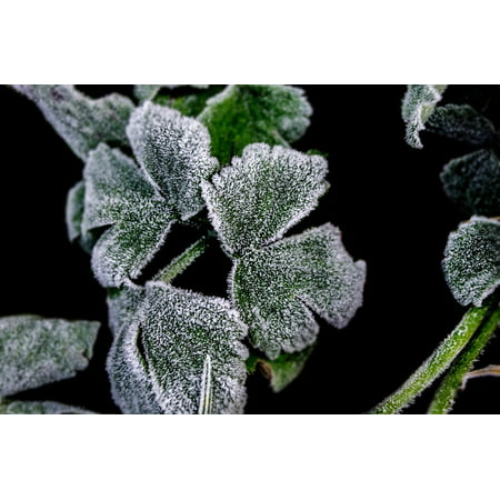 LAMINATED POSTER Plant White Frostbitten Winter Background Green Poster Print 24 x 36