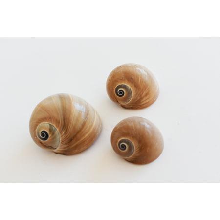 3 Select Whales Eye Moon Shells Seashells (1.5-2