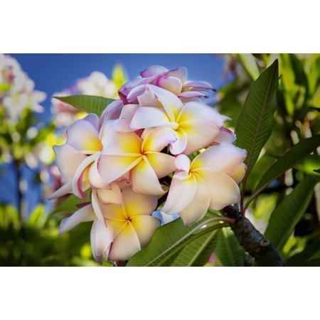 Hawaiian Flowers Design Snap (Close-up of pink plumeria flowers and blue sky Lanai Hawaii United States of America Poster Print by Jenna Szerlag  Design Pics)