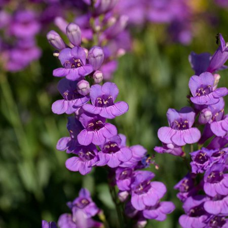 Rocky mountain penstemon seeds 4 oz seed pouch perennial flower rocky mountain penstemon seeds 4 oz seed pouch perennial flower garden royal blue mightylinksfo