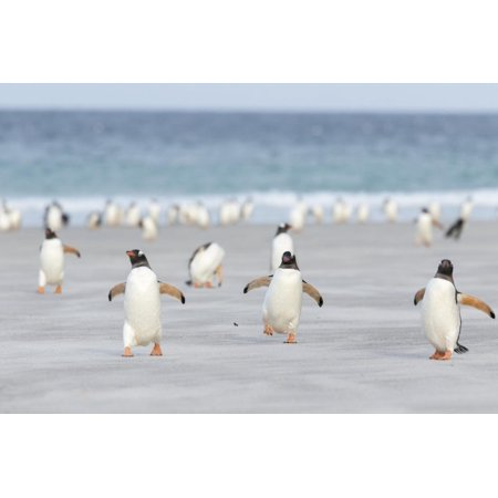 Gentoo Penguin Walking to their Rookery, Falkland Islands Animal Photo of Penguins on Beach Print Wall Art By Martin Zwick Animal Photography Print