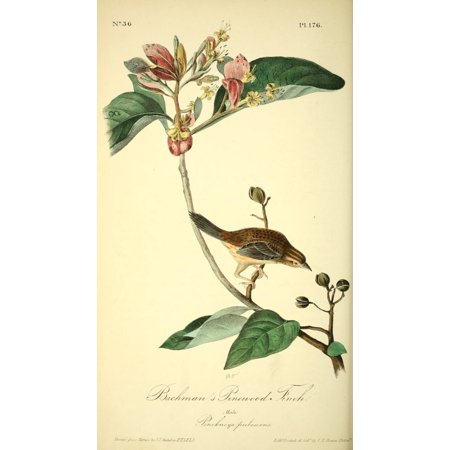 J.J. Audubon Stretched Canvas Art - Birds of America 1844 Bachman\'s ...
