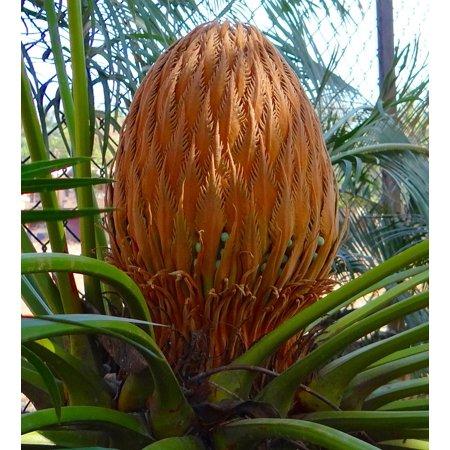 Canvas Print Cone Cycad Karnataka Sago Palm India Female Stretched Canvas 10 x 14