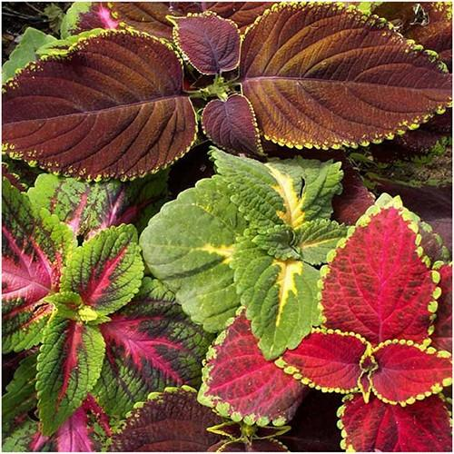 Packet of 800 Seeds, Rainbow Mixed Coleus (Coleus blumei) Non-GMO Seeds by Seed Needs