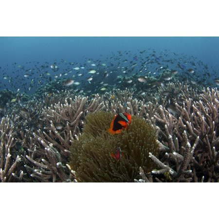 Clownfish and anemone in the hard corals of Apo Island Philippines Poster Print by VWPicsStocktrek