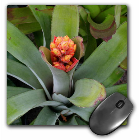 3dRose flowering bromeliad plant, Mouse Pad, 8 by 8 inches