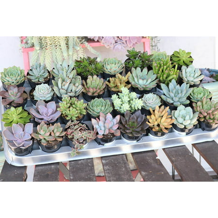 Succulent Wedding Favors by The Succulent Source - Succulents for all occasions - Assorted 2.5