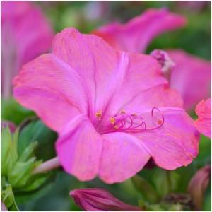 Packet of 60 Seeds, Pink Four O' Clock (Mirabilis jalapa) Open Pollinated Seeds By Seed Needs