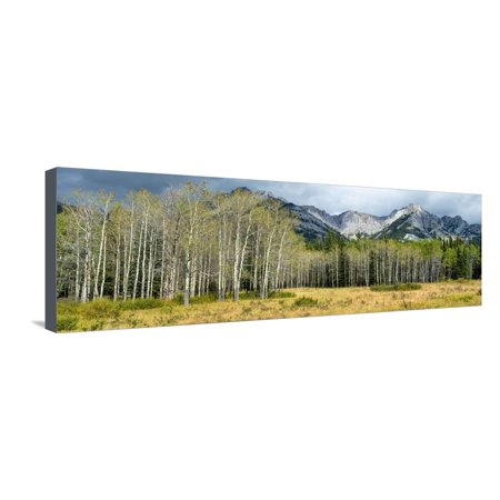 Aspen Trees with Mountains in the Background, Bow Valley Parkway, Banff National Park, Alberta Stretched Canvas Print Wall