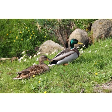 LAMINATED POSTER Duck Water Bird Nature Meadow Bird Animals Poster Print 24 x