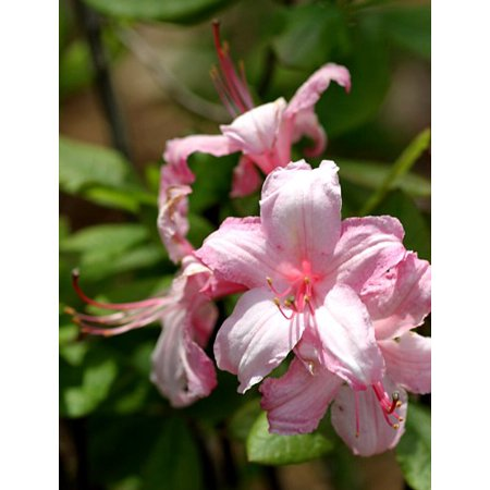 Candy Plant - Deciduous Exbury Azalea Candy Lights - Very Hardy - 2.5