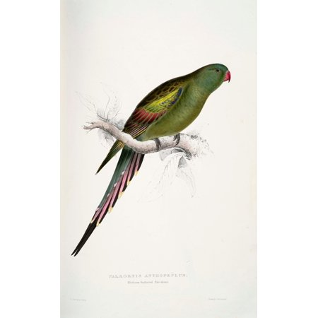 Psittacidae 1832 Blossom Feathered Parakeet Poster Print By  Edward Lear
