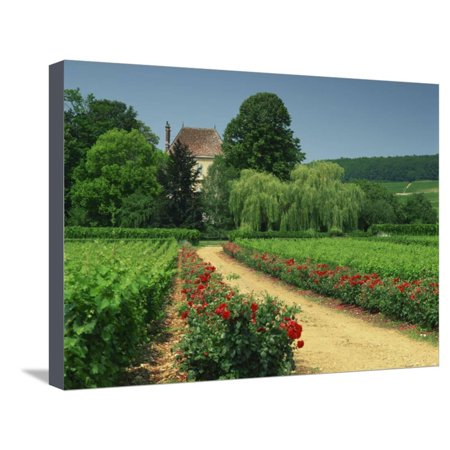 Roses and Vines in Vineyard Near Beaune, Cotes De Beaune, Burgundy, France, Europe Stretched Canvas Print Wall Art By Michael Busselle
