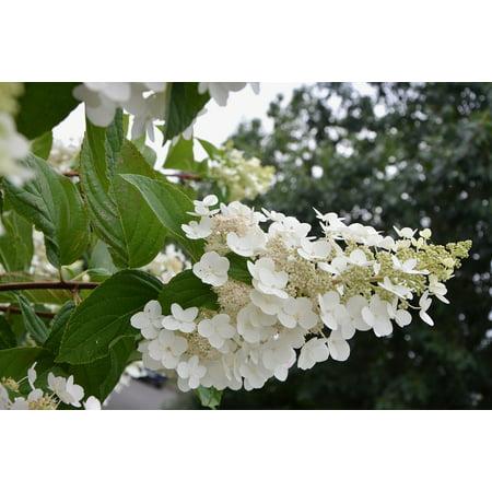 Peel N Stick Poster Of Nature Shrub Flowering Small White Flowers