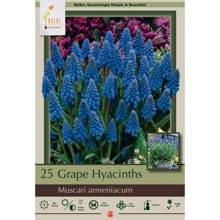 Blue Grape Hyacinth 25 Bulbs - Muscari armeniacum - 8/9 cm Bulbs Grape Hyacinth Bulbs