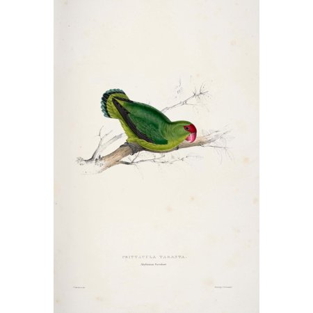 Psittacidae 1832 Abyssinian Parakeet Poster Print By  Edward Lear