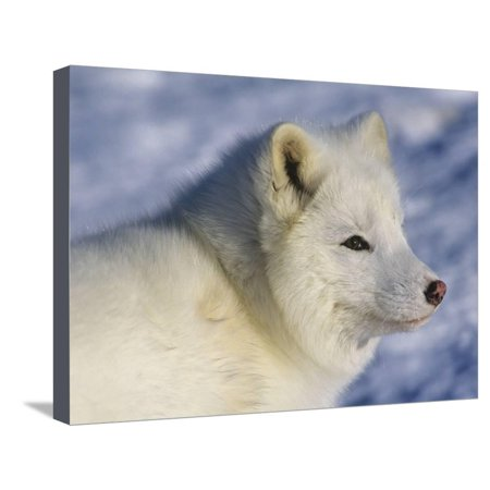 Artic Fox (Alopex Lagopus) Massey, Ontario, Canada Stretched Canvas Print Wall Art By Don Johnston (Canada Artic)