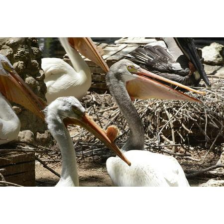 Framed Art for Your Wall Pelican White Pelicans Wildlife Animal Birds White 10x13 Frame