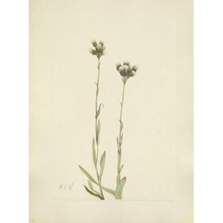 N American Wild Flowers 1925 Grey Pussytoes Canvas Art - Mary V Walcott (24 x 36) ()