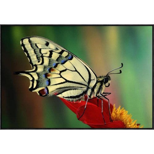 Global Gallery Oldworld Swallowtail Side View, Europe by Jef Meul Framed Photographic Print on Canvas