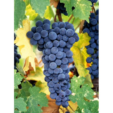 Napa Cellars Cabernet Sauvignon (Cabernet Sauvignon Grapes, Napa Valley, California Print Wall Art By Karen Muschenetz)
