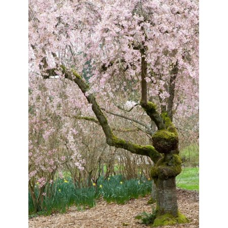 Cherry Trees Blossoming in the Spring, Washington Park Arboretum, Seattle, Washington, USA Print Wall Art By Jamie & Judy