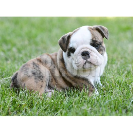 Cute English Bulldog Puppy in the Grass Print Wall Art By Willee (English Bulldogs For Sale In Washington State)