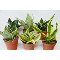 "6 Snake Plant Variety (Sansevieria) / 4"" Pot / Live Plant"