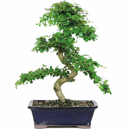 Brussel's Fukien Tea Bonsai - Large - (Indoor)