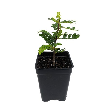 Yellowwood / Pepper Tree Plant - 2.5