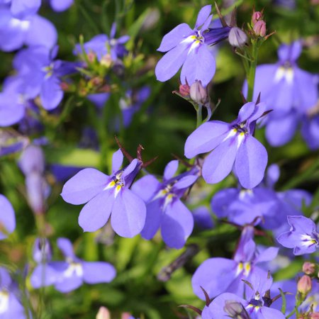 Lobelia Flower Garden Seeds - Crystal Palace Series - 1000 Multi Seed Pelleted Seeds - Upright, Annual Flower Gardening Seed - Lobelia erinus