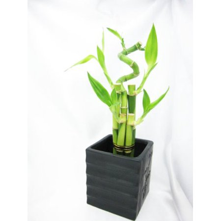 9GreenBox - Live Spiral 5 Style Lucky Bamboo Plant Arrangement with Black Square Balck Diamond Ceramic Vase Big Bamboo Plants