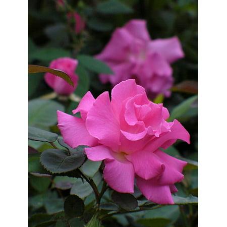Plant Climbing Roses (Zephirine Drouhin Rose - Climbing,Thornless,Very Fragrant - 4