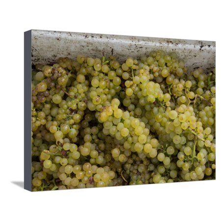Close-up of Chardonnay grapes, Church Road Tom Chardonnay, Hawke's Bay, Hastings, North Island,... Stretched Canvas Print Wall - Monkey Bay Chardonnay