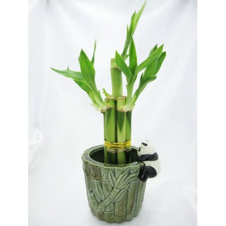 9GreenBox - Live 5 Style Lucky Bamboo Plant Arrangement with Ceramic Panda Vase Big Bamboo Plants
