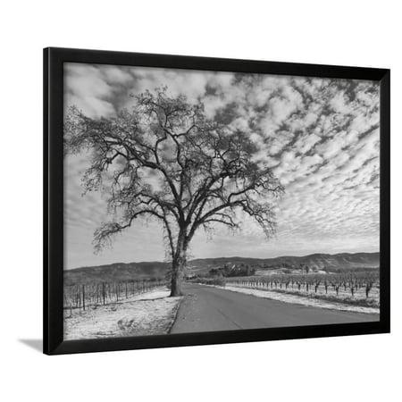 Vineyards in Winter, Napa, Napa Valley Wine Country, Northern California, Usa Framed Print Wall Art By Walter - Napa Valley Northern California Wine
